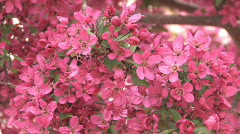 Tree Blossom Series One - 11 of 13 Stock Footage