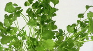 Stock Video Footage of Coriander