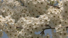 Tree Blossom Series One - 4 of 13 Stock Footage