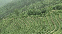 Chinese Tea Fields - stock footage