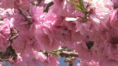 Tree Blossom Series One - 7 of 13 Stock Footage