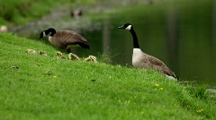 Goose Family on Land - stock footage