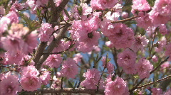 Tree Blossom Series One - 8 of 13 Stock Footage