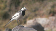WAGTAIL Stock Footage