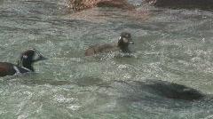 Harlequin Duck Stock Footage