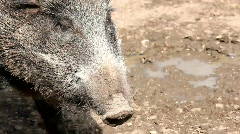 wild boar chewing - stock footage