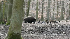 Sounder of boars Stock Footage