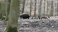 Stock Video Footage of Sounder of boars