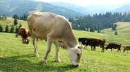 Cows on meadow Stock Footage