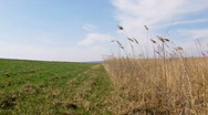 Windy weather (steppe). Field of rush, cane, reed Stock Footage