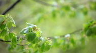 Stock Video Footage of tree branches in spring, shallow dof
