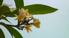 Frangipani flowers Stock Footage