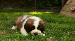 Saint Bernard Puppy 8 Weeks Old Stock Footage