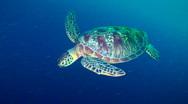 Sea Turtle Stock Footage