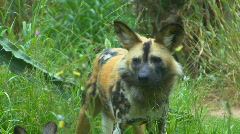 African wild dog Stock Footage