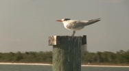 Stock Video Footage of Tern on Piling