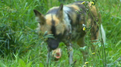 Wild african dogs Stock Footage