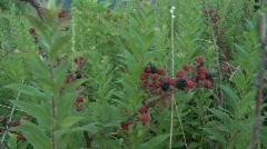 Wild Raspberries (HD) c Stock Footage