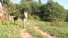 Stock Video Footage of Donkey on Farm