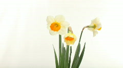 Daffodil Blooming on a White Background. Time Lapsed Footage Stock Footage