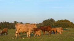Cows and their calves on farm Stock Footage
