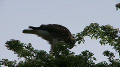 Cooper's Hawk balancing on limb Stock Footage