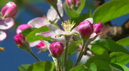 Stock Video Footage of Apple blossoms blooming-honey bee pollinating flower