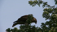 Stock Video Footage of Cooper's Hawk eating