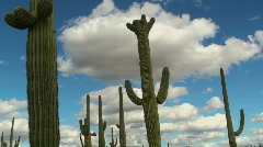 Magnificent Saguaro Cactus Time Lapse Stock Footage
