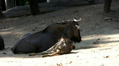 Resting Gnu Antelope Stock Footage
