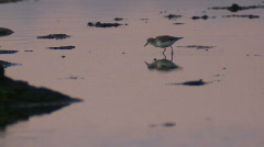 Golden Plover - Small Wader Bird Foraging at Dusk Stock Footage
