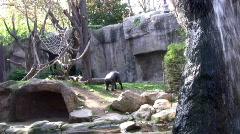 Chimpanzees  Stock Footage