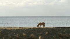 Icelandic horse by the sea Stock Footage