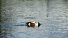 Northern shoveler Stock Footage