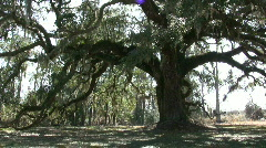 Looking at the Giant Oak  - stock footage