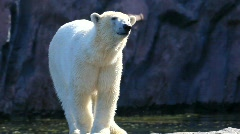 Polar bear Stock Footage