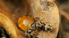 Ants eating honey Stock Footage