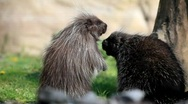 Common porcupine Stock Footage