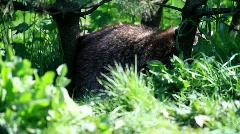 Raccoon Stock Footage