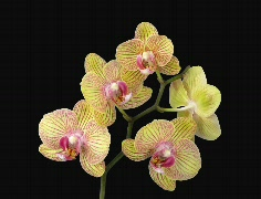 Time-lapse of opening Phalaenopsis KV Charmer orchid 3d (Cinema 2K) Stock Footage
