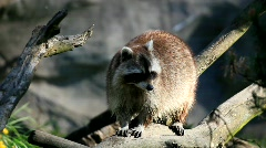 Stock Video Footage of raccoon