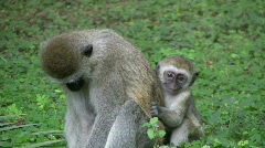 A baby vervet monkey scared and clings to mother Stock Footage