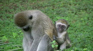 Stock Video Footage of A baby vervet monkey scared and clings to mother