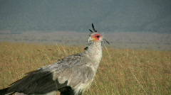A large bird of prey calle secretary bird Stock Footage