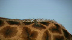 A tick bird resting on the back of giraffe Stock Footage