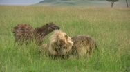 Stock Video Footage of A very seriouse fight of lions