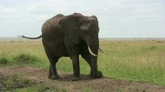 African elephant throwing dust on his back Stock Footage