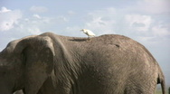 African elephant with a bird on its back Stock Footage