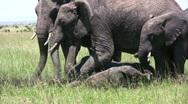 Baby elephant mud bathing Stock Footage
