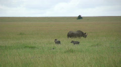 Black rhino protecting warthogs Stock Footage